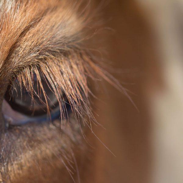 gros plan oeil de vache